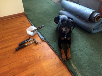 removing carpet - roxie chooses a side